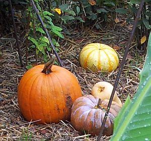 courges et citrouilles au jardin d'automne